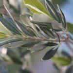 La feuille d'olivier permet de protéger notre organisme des agressions extérieures en les neutralisant ainsi il détoxifie et protège les cheveux.